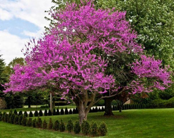 Cây hoa hạnh phúc với vẻ đẹp hút hồn