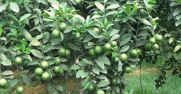 Cây chanh - Một loại cây nhiều công dung