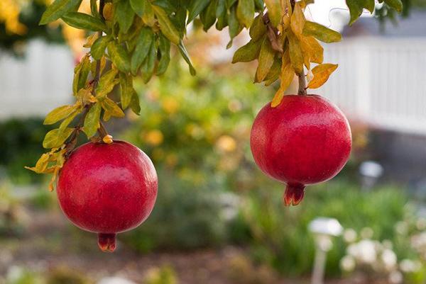 Cây lựu - cây ăn quả vừa là cây cảnh