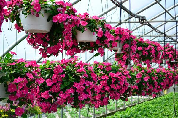 Hoa dừa cạn - hoa trang trí đẹp