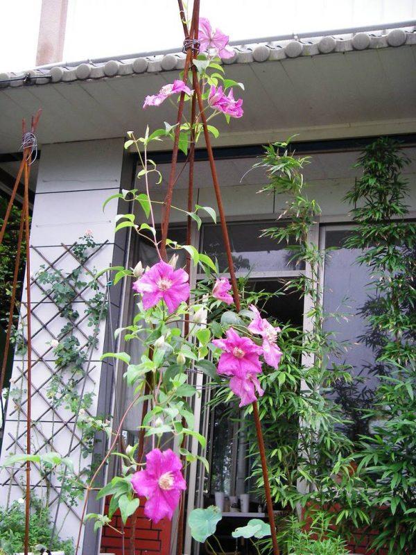 Hoa ông lão - loài hoa có tên độc đáo