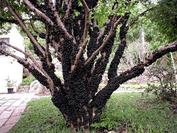 Cây nho thân gỗ - Cây ăn quả đặc biệt