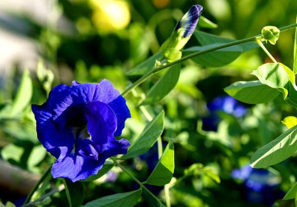 cây hoa đậu biếc mang vẻ đẹp rất riêng