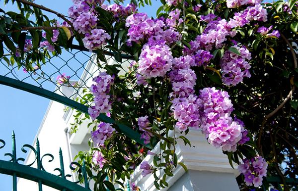 Cây hoa lí tỏi