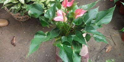 Cây tieur hồng môn