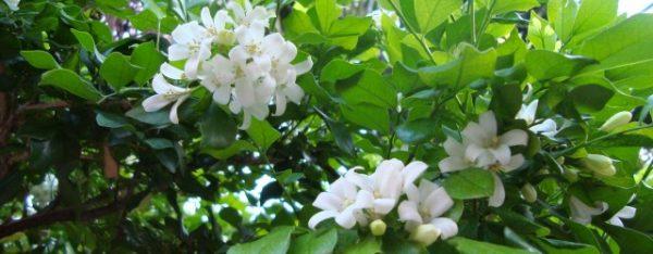 Cây nguyệt quế với hoa trắng tinh khôi
