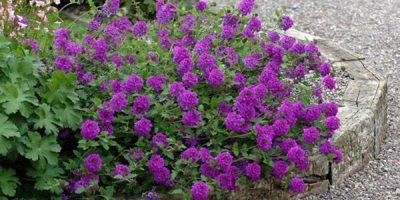 Hoa cúc indo