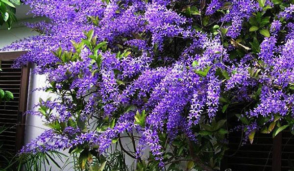 Hoa mai xanh
