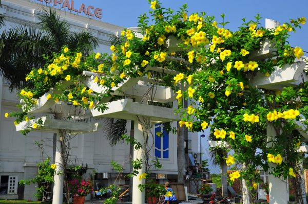 Cây hoa huỳnh anh với sắc vàng rực rỡ