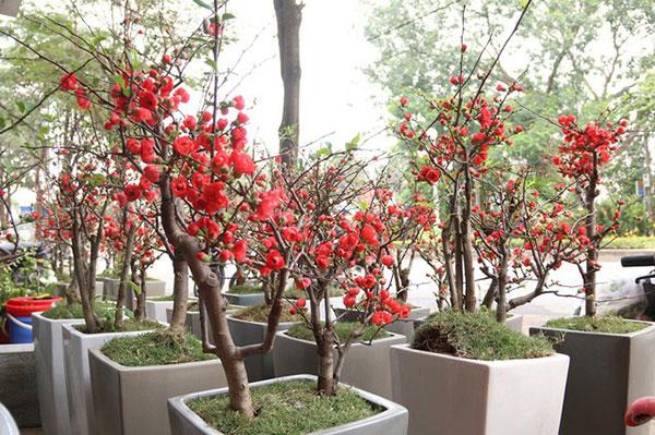 Hoa mai đỏ khoe sắc