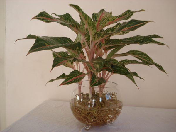 cây phú quý - cây phong thủy trong nhà