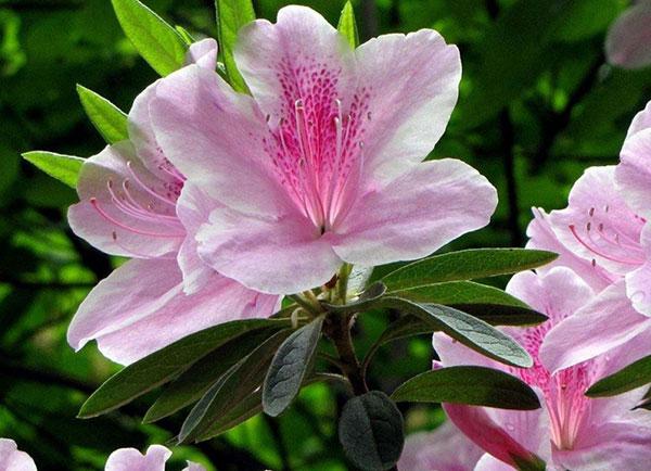 Hoa đỗ quyên mang ý nghĩa trong phong thủy