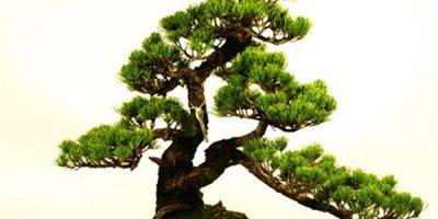 Cây tùng bonsai còn gọi là tùng la hán
