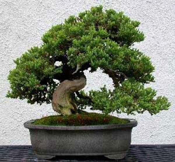 Tùng la hán - loài cây quý hiếm